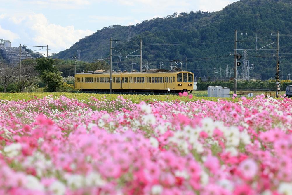 近江八幡市野田町のコスモス畑2021_b0325840_23220997.jpg