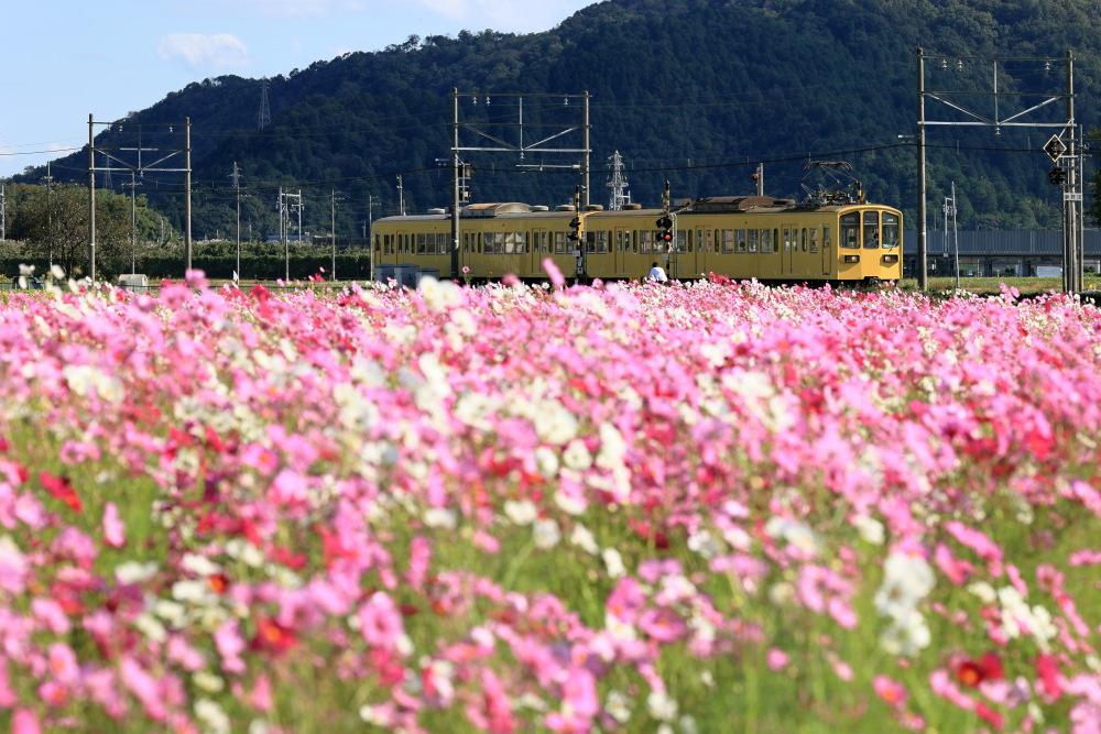 近江八幡市野田町のコスモス畑2021_b0325840_23232078.jpg