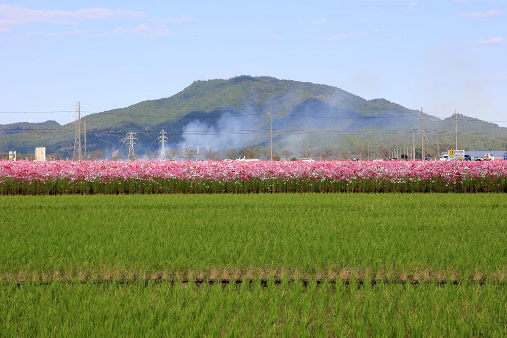 近江八幡市野田町のコスモス畑2021_b0325840_23232394.jpg