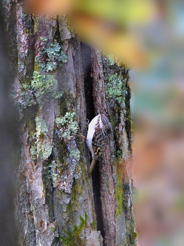 秋色のキバシリ(ベランダにて)_a0204089_20485880.jpg