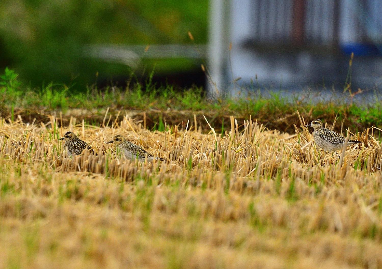 ムナグロの幼鳥!_e0362696_17325451.jpg