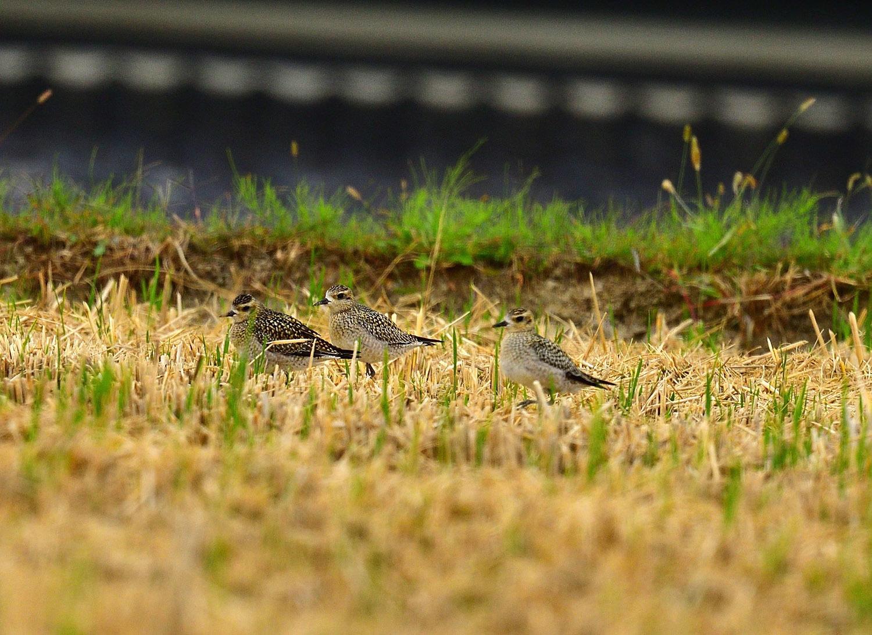 ムナグロの幼鳥!_e0362696_17332140.jpg