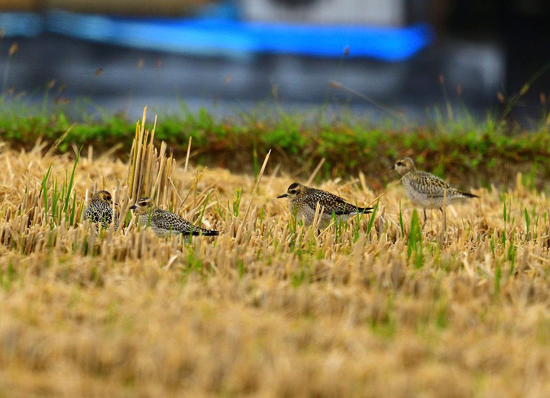 ムナグロの幼鳥!_e0362696_17372591.jpg