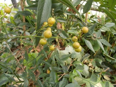白南天の目覚め・今日も柿をもぐ_a0203003_15311854.jpg