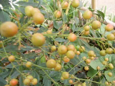 白南天の目覚め・今日も柿をもぐ_a0203003_15335566.jpg