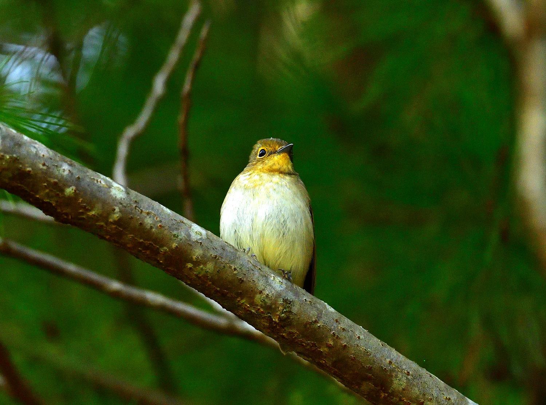 ムギマキ ♀ 幼鳥!?_e0362696_16291030.jpg