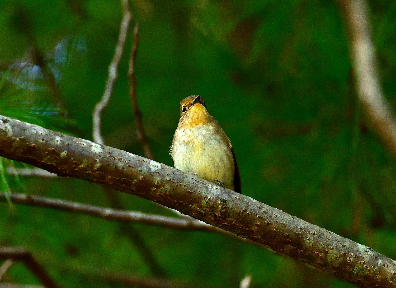 ムギマキ ♀ 幼鳥!?_e0362696_16291712.jpg
