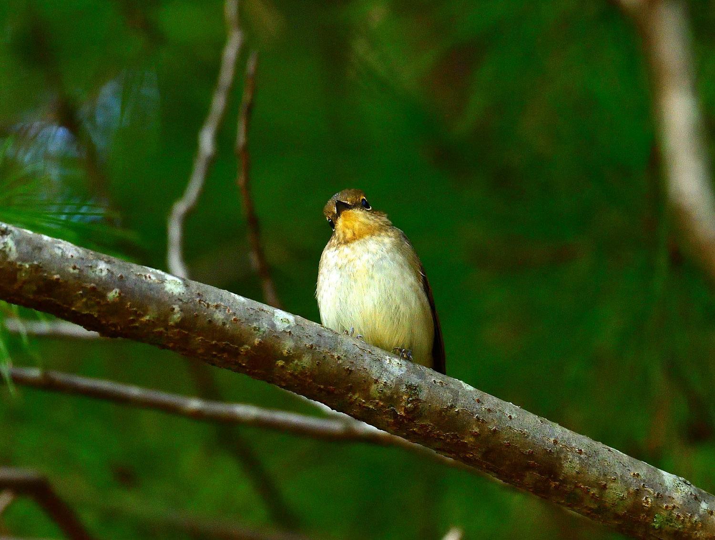 ムギマキ ♀ 幼鳥!?_e0362696_16292209.jpg