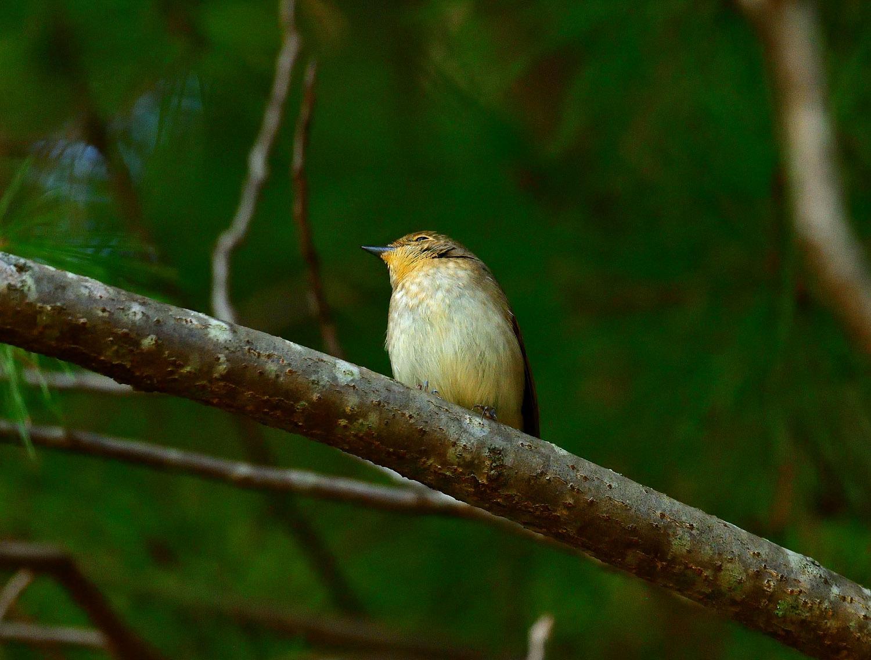 ムギマキ ♀ 幼鳥!?_e0362696_16292747.jpg