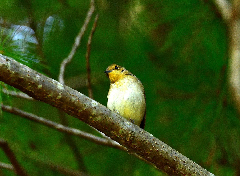 ムギマキ ♀ 幼鳥!?_e0362696_16293259.jpg