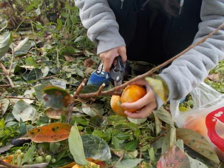 わんこのオレガノちゃん、柿もぎに来る_a0203003_17102049.jpg