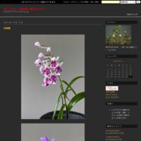 羽蝶蘭 - 花ごよみ~山野草に魅せられて~
