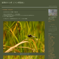 クロスジギンヤンマが産卵 - 加茂のトンボ (トンボ狂会)