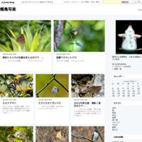 メスグロヒョウモンの求愛飛翔 - 蝶鳥写楽