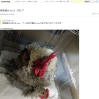 シロツメクサの花冠 - 烏骨鶏かわいいブログ