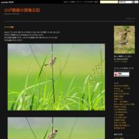 カワガラス - ひげ親爺の探鳥日記
