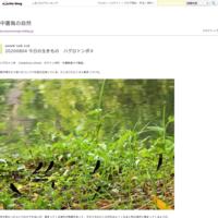 20200727植物暦フヨウ開花 - 中書島の自然
