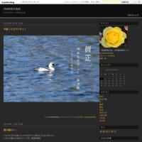 山の主ヤマドリ - 岡崎野鳥写真館