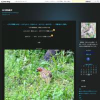 動画・・・「カワガラスのつがい」・・・高尾 - 浅川野鳥散歩