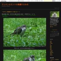 ツバメチドリ さん~Σ^) 動画編 bykenxken - ケンケン&ミントの鳥撮りLifeⅡ