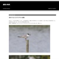 キョウジョシギ - 銀狐の鳥見